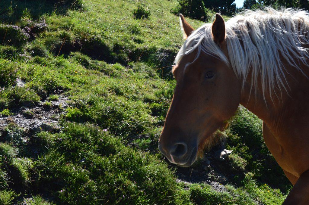 beau cheval aveyronnais